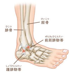 足首の構造